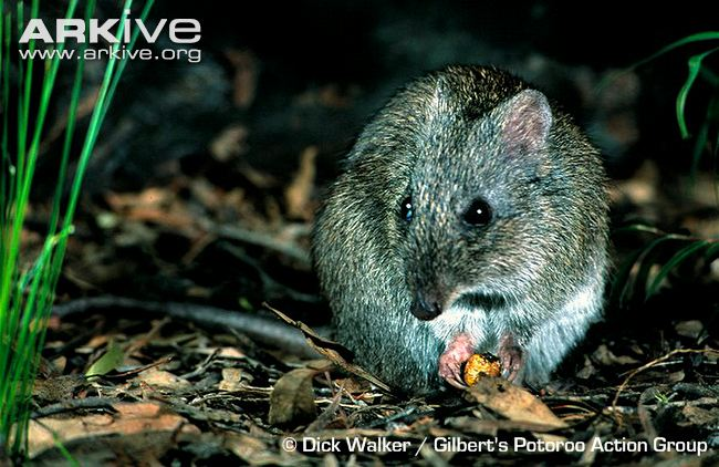 Gilberts-potoroo-feeding