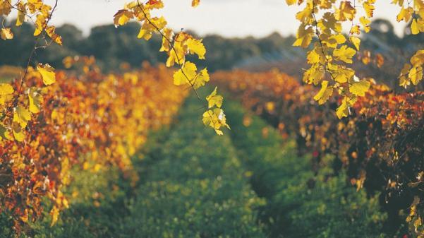 australia-com-photo-swan-valley